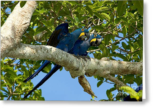 Macaw Greeting Cards - Hyacinth Macaws, Brazil Greeting Card by Gregory G. Dimijian, M.D.