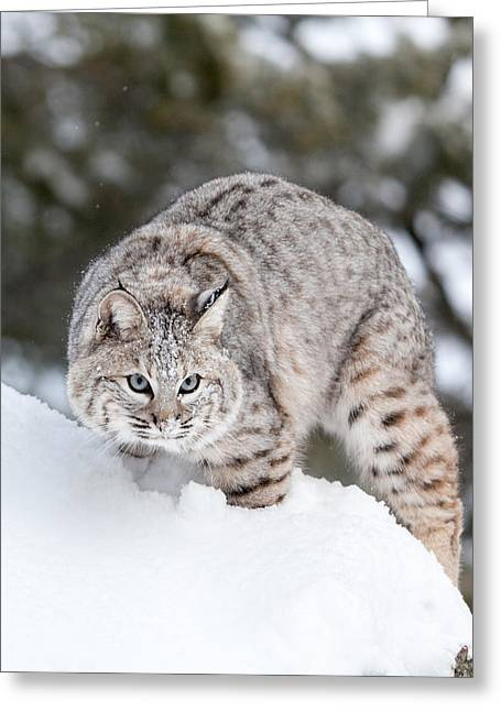 Bobcats Greeting Cards - I See You Greeting Card by Sandy Brooks