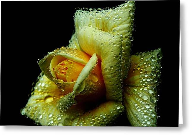 Immersed Greeting Cards - Immersed Rose Greeting Card by Mountain Dreams