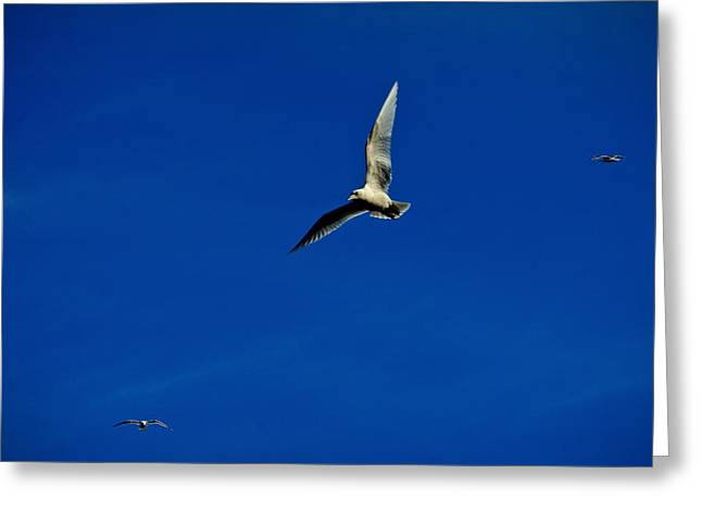 Flying Seagull Greeting Cards - In Flight Greeting Card by Bette Bresette