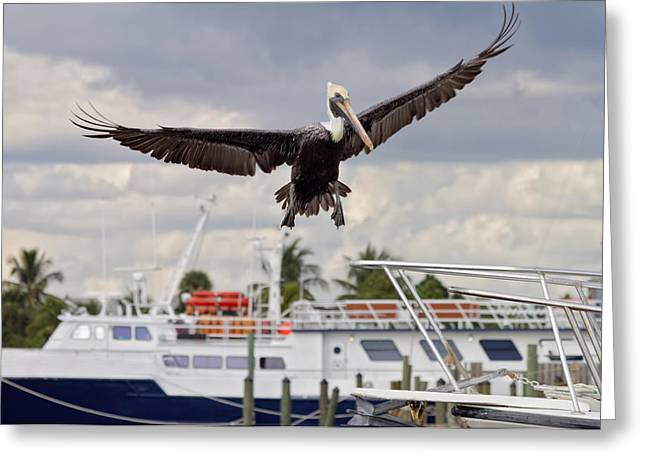 Gracefully Greeting Cards - In For A Landing Greeting Card by Kim Hojnacki