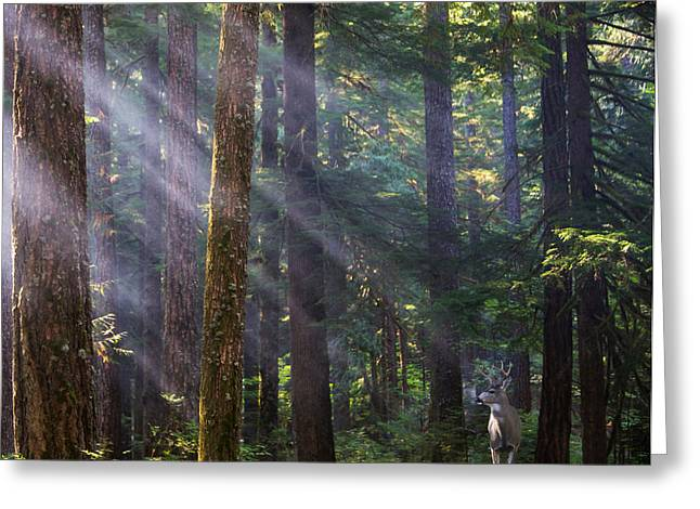 Fir Trees Greeting Cards - In the Forest Greeting Card by Angie Vogel