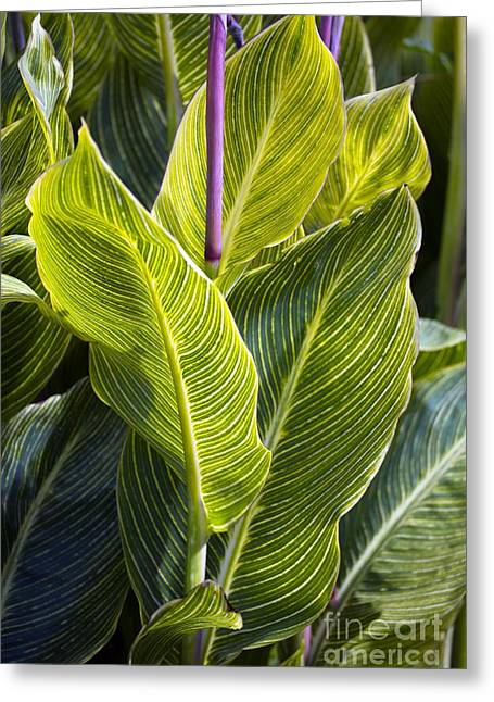 Ovates Greeting Cards - Indian Shot Plant Canna Striata Greeting Card by Dr. Keith Wheeler