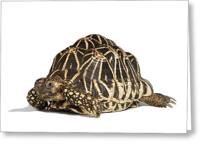 Shell Pattern Greeting Cards - Indian star tortoise Greeting Card by Science Photo Library