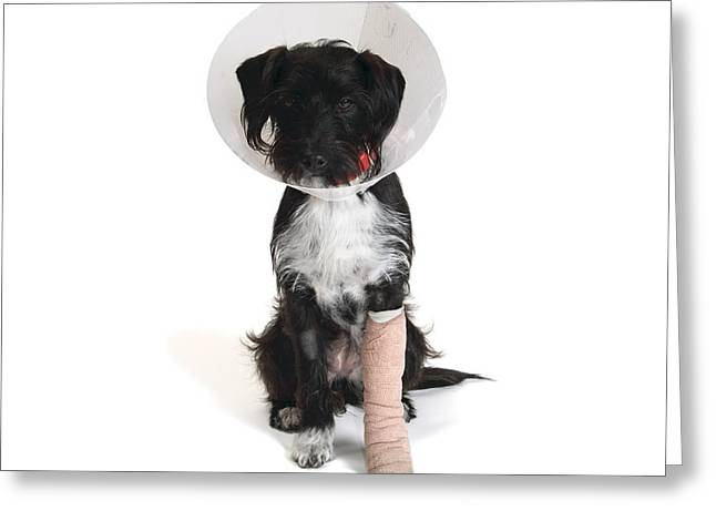 Pet Collar Greeting Cards - Injured jack-a-poo Greeting Card by Science Photo Library