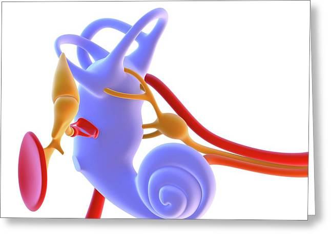 Inner Ear Anatomy Greeting Card by Alfred Pasieka