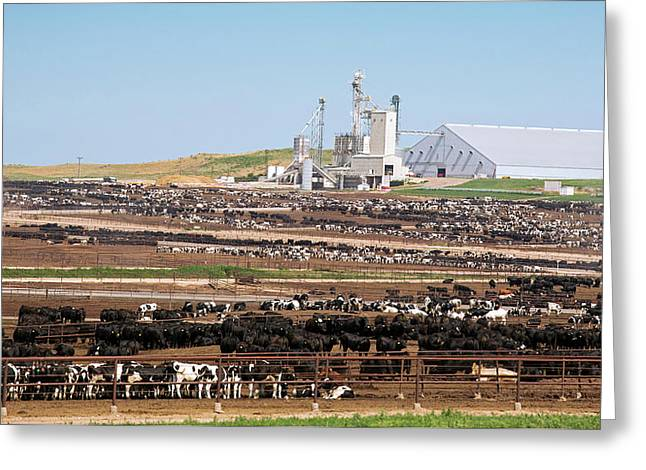 Intensive Cattle Farm Greeting Card by Jim West