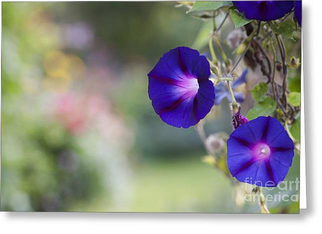Morning Glories Greeting Cards - Ipomoea Morning Glory Greeting Card by Tim Gainey