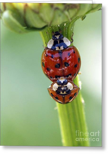 Ladybug Greeting Cards - It Takes Two Greeting Card by Sharon  Talson
