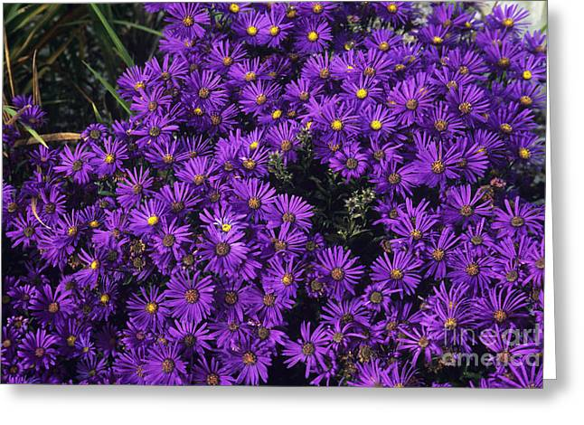 Asters Greeting Cards - Italian Aster Aster Veilchenkonigin Greeting Card by Adrian Thomas