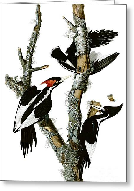 Ivory-billed Woodpecker  Greeting Card by Celestial Images