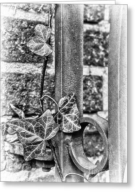 North Carolina Wall Art Greeting Cards - Ivy Vine Clinging to Wrought Iron Greeting Card by Dan Carmichael