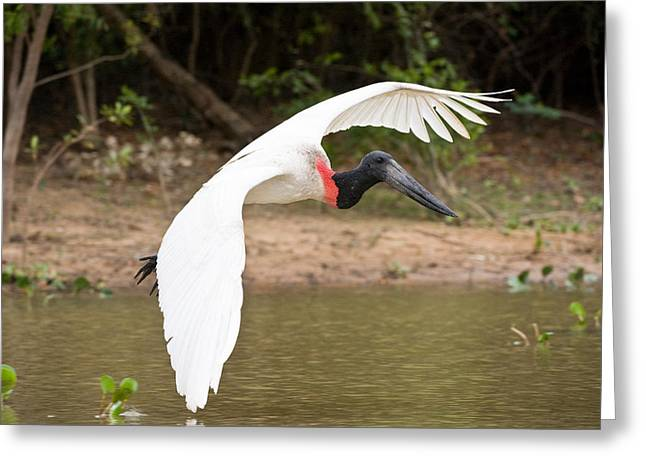 Close Focus Nature Scene Greeting Cards - Jabiru Stork Jabiru Mycteria In Flight Greeting Card by Panoramic Images