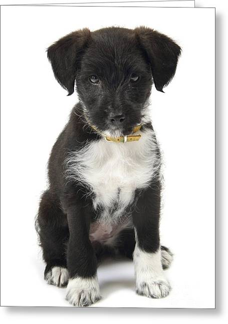 Pet Collar Greeting Cards - Jack-a-poo Puppy Greeting Card by Gerry Pearce