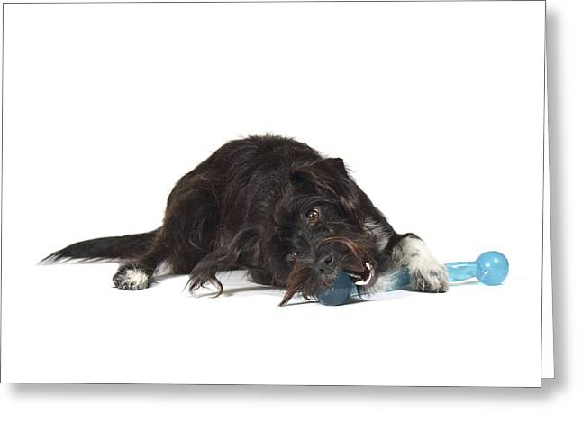 Pet Collar Greeting Cards - Jack-a-poo Greeting Card by Science Photo Library