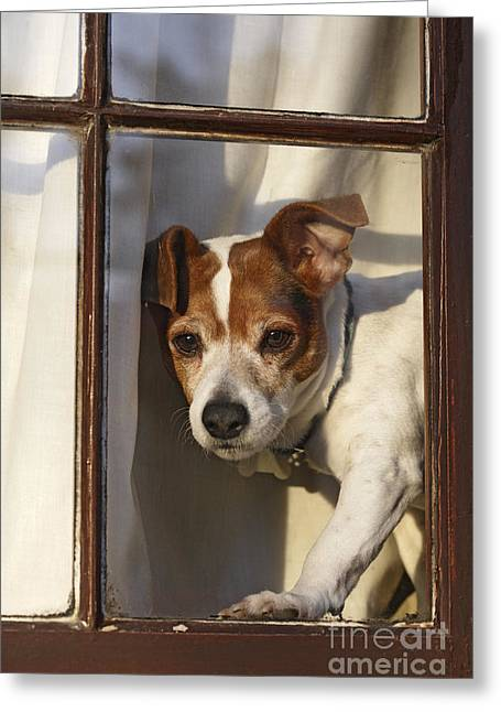 Dog In Window Greeting Cards - Jack Russell At Window Greeting Card by Brian Bevan