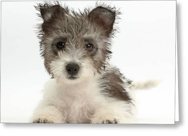 Westie Pup Greeting Cards - Jack Russell X Westie Pup Greeting Card by Mark Taylor