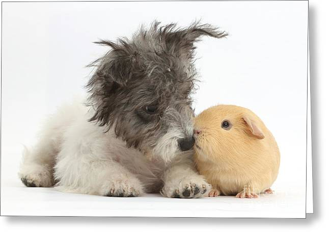 Westie Pups Greeting Cards - Jack Russell X Westie Pup With Guinea Greeting Card by Mark Taylor