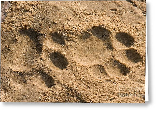 Cat Paw Print Greeting Cards - Jaguar Tracks Greeting Card by Tony Camacho