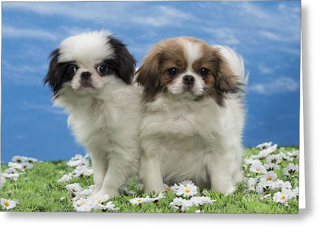 Japanese Chin Puppies Greeting Card by Jean-Michel Labat