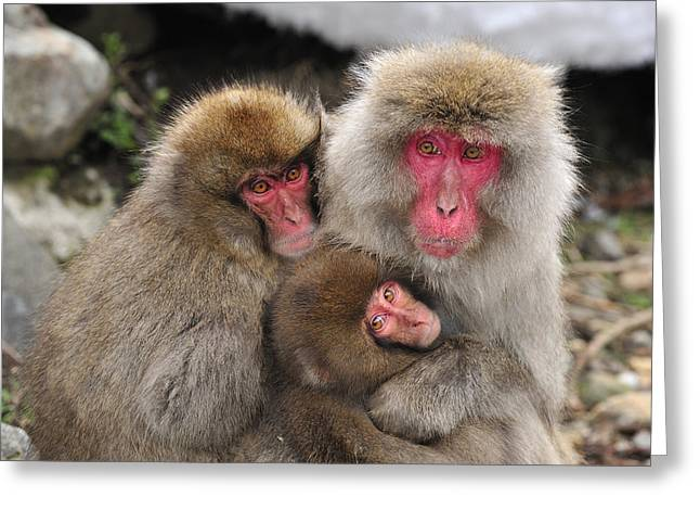 Japanese Macaque Mother With Young Greeting Card by Thomas Marent