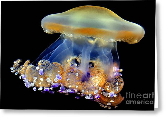 Recently Sold -  - Jelly Fish Greeting Cards - Jellyfish Greeting Card by Wernher Krutein