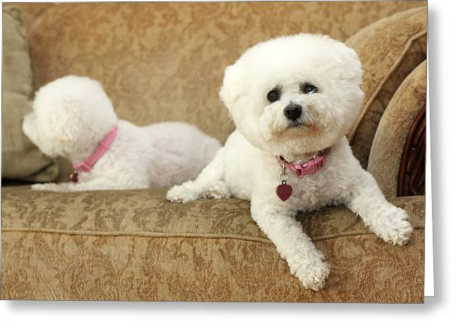 Family Member Greeting Cards - Jolie the Bichon Frise Greeting Card by Michael Ledray