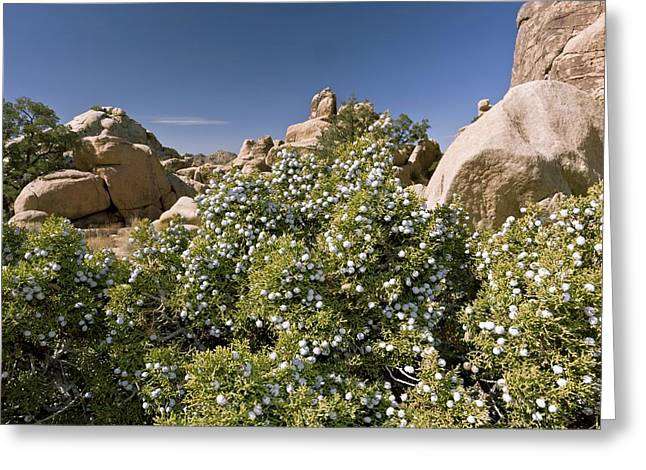 Californian Greeting Cards - Juniperus californica tree Greeting Card by Science Photo Library