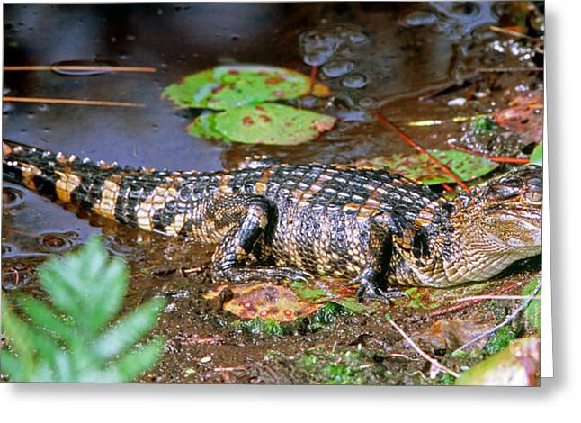 Aquatic Animal Greeting Cards - Juvenile American Alligator Greeting Card by Millard H. Sharp