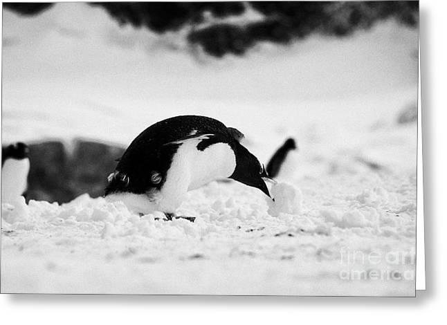 Harsh Behavior Greeting Cards - juvenile gentoo penguin rolling picking up ball of snow at Neko Harbour arctowski peninsula Antarcti Greeting Card by Joe Fox