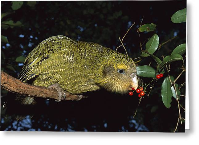 Hoa Greeting Cards - Kakapo Feeding On Supplejack Berries Greeting Card by Tui De Roy