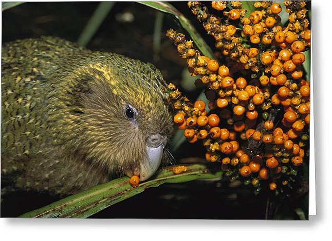 Hoa Greeting Cards - Kakapo Flightless Feeding On Astelia Greeting Card by Tui De Roy