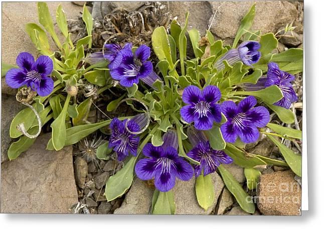 Northern Africa Greeting Cards - Karoo Violets Aptosimum Indivisum Greeting Card by Bob Gibbons