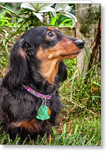 Black And Tan Dachshund Greeting Cards - Katie Greeting Card by Jim Thompson