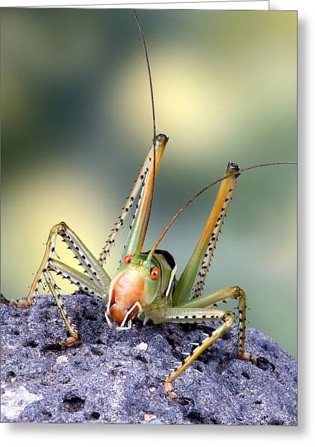 Robert Jensen Greeting Cards - Katydid Cricket Greeting Card by Robert Jensen