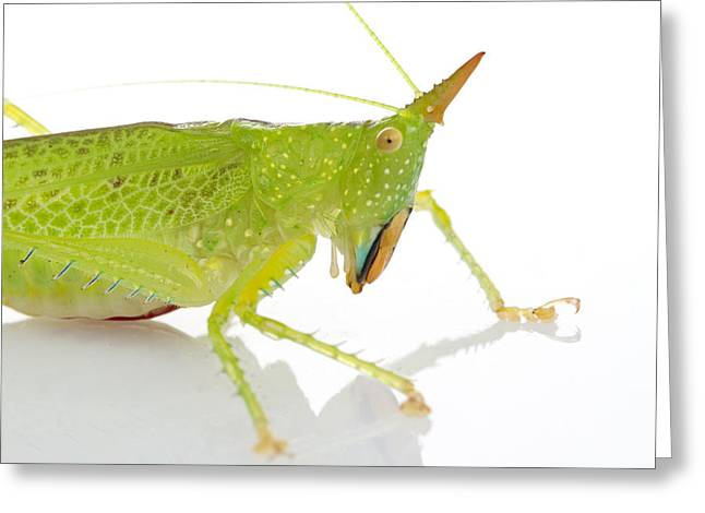 Katydid Suriname Greeting Card by Piotr Naskrecki
