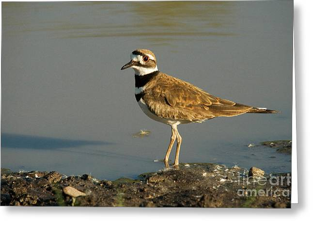 Killdeer Greeting Cards - Killdeer Greeting Card by Linda Freshwaters Arndt