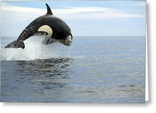 Killer Whale Hunting Greeting Card by Christopher Swann