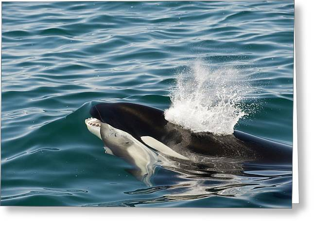 Killer Whale With Prey Greeting Card by Christopher Swann