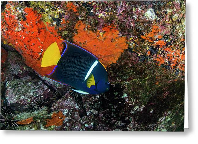 King Angelfish (holacanthus Passer Greeting Card by Pete Oxford