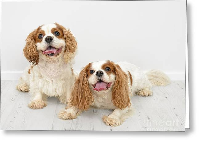 Spaniel Greeting Cards - King Charles Spaniel Dogs Greeting Card by Amanda And Christopher Elwell