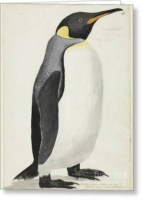 Aptenodytes Greeting Cards - King Penguin, 18th Century Greeting Card by Natural History Museum, London