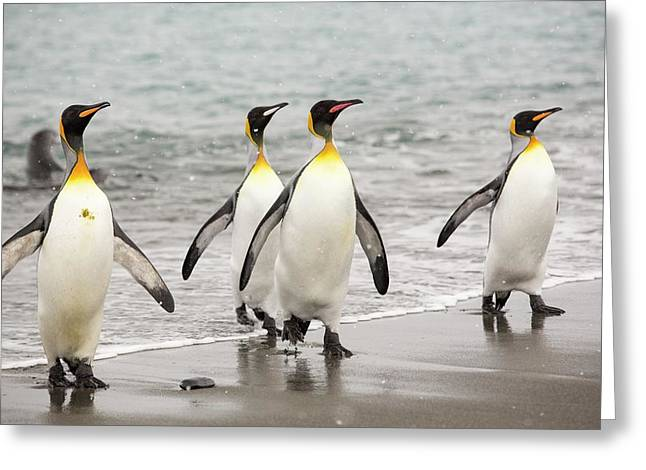 King Penguins Emerge From A Fishing Trip Greeting Card by Ashley Cooper
