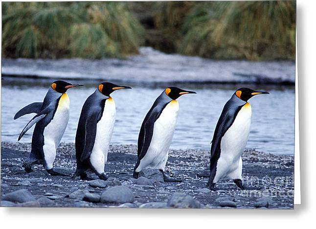 Quartet Photographs Greeting Cards - King Penguins Greeting Card by Gregory G. Dimijian
