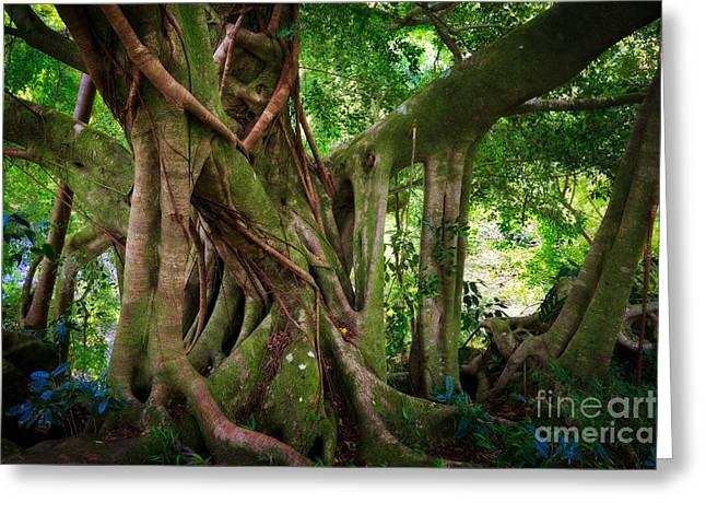 Haleakala Greeting Cards - Kipahulu Banyan Tree Greeting Card by Inge Johnsson