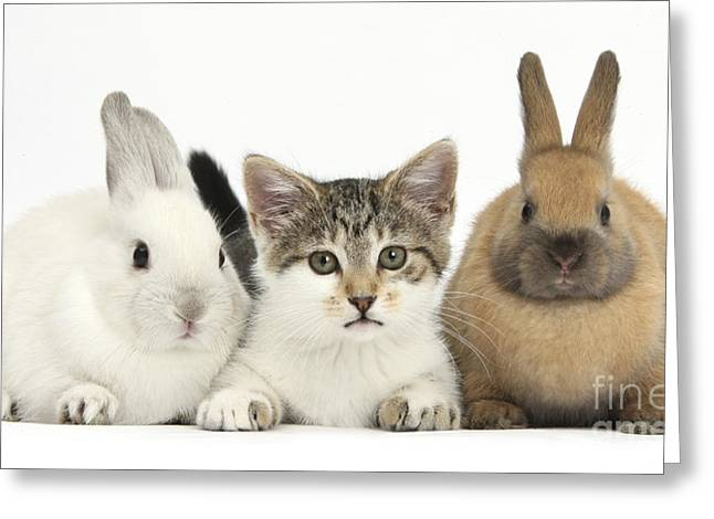 House Pet Greeting Cards - Kitten And Baby Rabbits Greeting Card by Mark Taylor