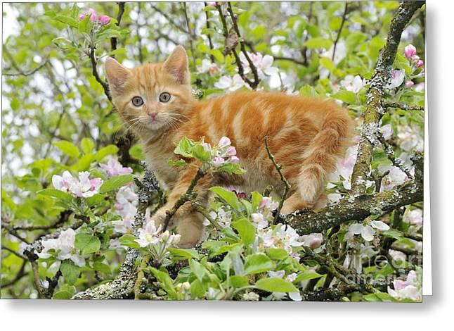 House Pet Greeting Cards - Kitten In Tree Greeting Card by John Daniels