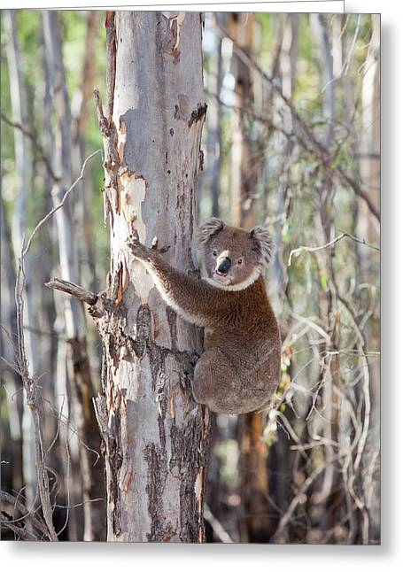 Koala Bear Greeting Card by Ashley Cooper