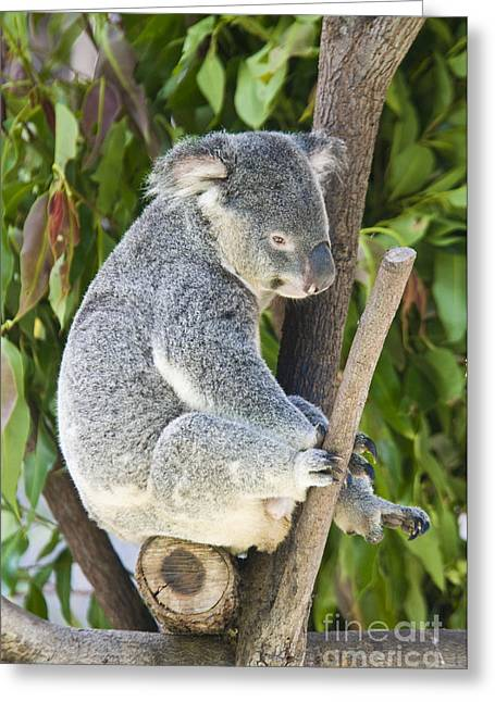 Sit-ins Greeting Cards - Koala Bear Greeting Card by William H. Mullins