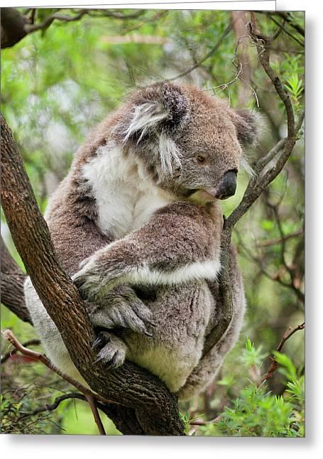 Koala (phascolarctos Cinereus Greeting Card by Martin Zwick